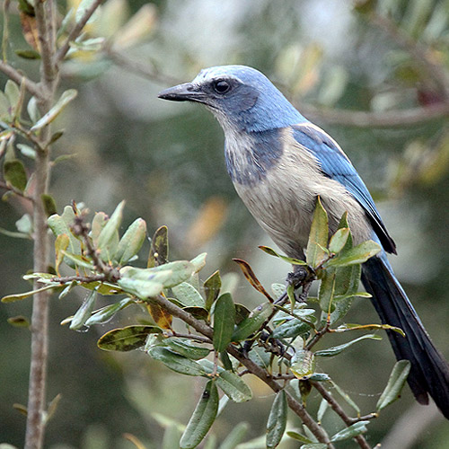 Photo of a blue bird sitting on a branch